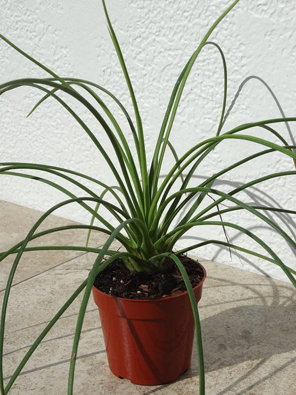 Agave Greminiflora Las Vegas Aga Gre