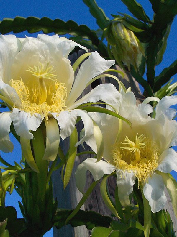 4 white night blooming cereus plants tree wrap pkg kens nursery 4 white night blooming cereus plants tree wrap pkg cer nib mightylinksfo
