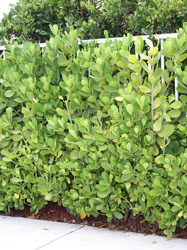Palm Bush Types