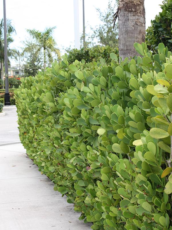Tropical Hedge Autograph Tree Clusia Rosea Kens Nursery