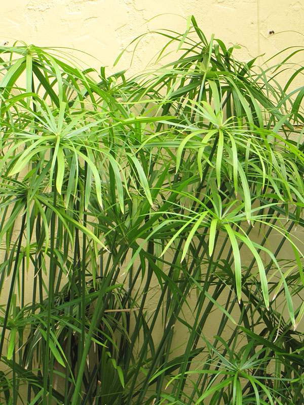 water loving cyperus papyrus umbrella plant kens nursery. Black Bedroom Furniture Sets. Home Design Ideas