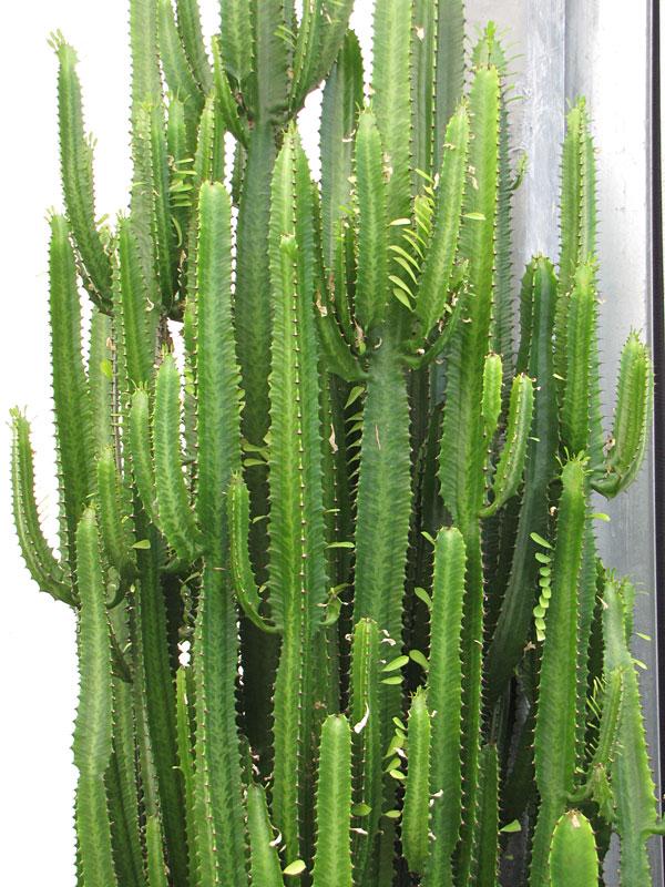 Jade Tiger Cactus Euphorbia Trigona Kens Nursery