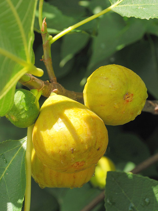 4 tasty big fig tree mix kens nursery sweet yellow long neck fig tree fic cye mightylinksfo