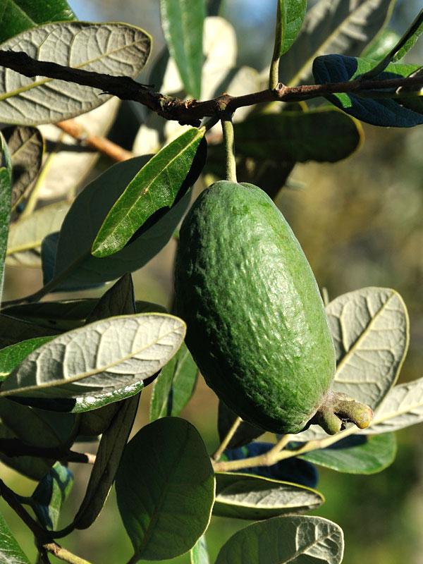Cold Hardy Pinele Guava Tree Kens Nursery