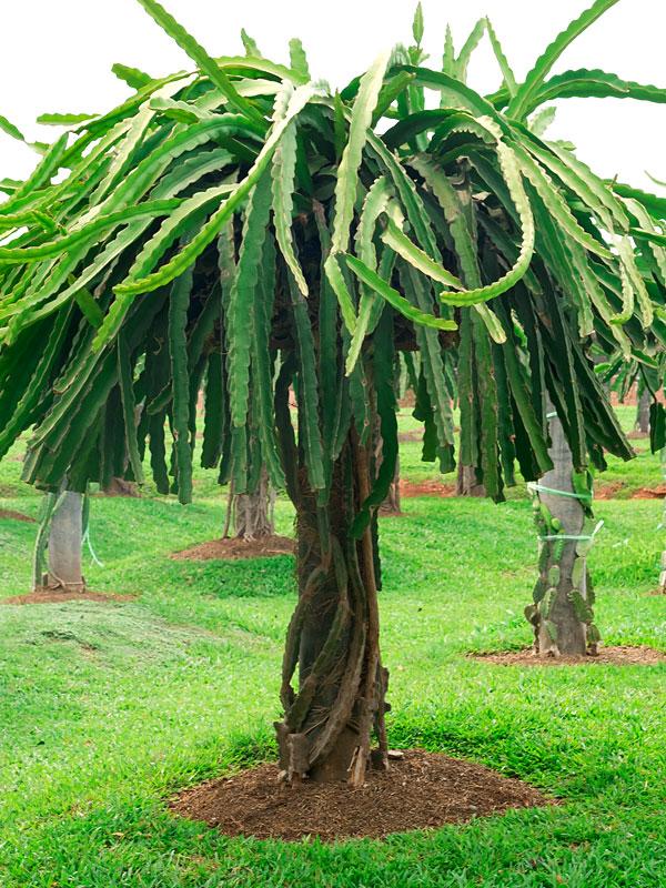 Giant Hawaiian Gold Dragon Fruit Cactus Plant Kens Nursery