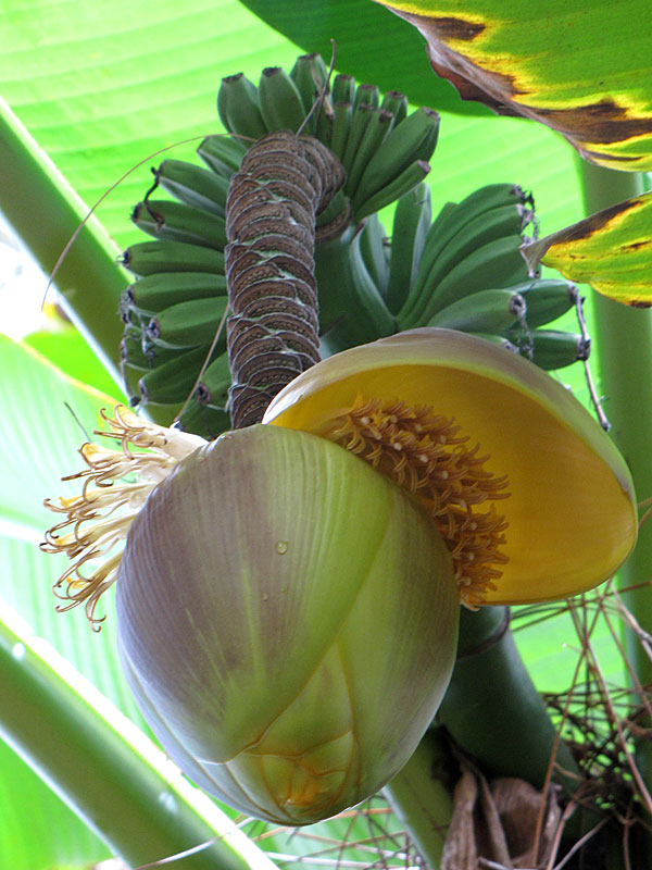 Basjo Northern Yellow Banana Tree Mus Bas