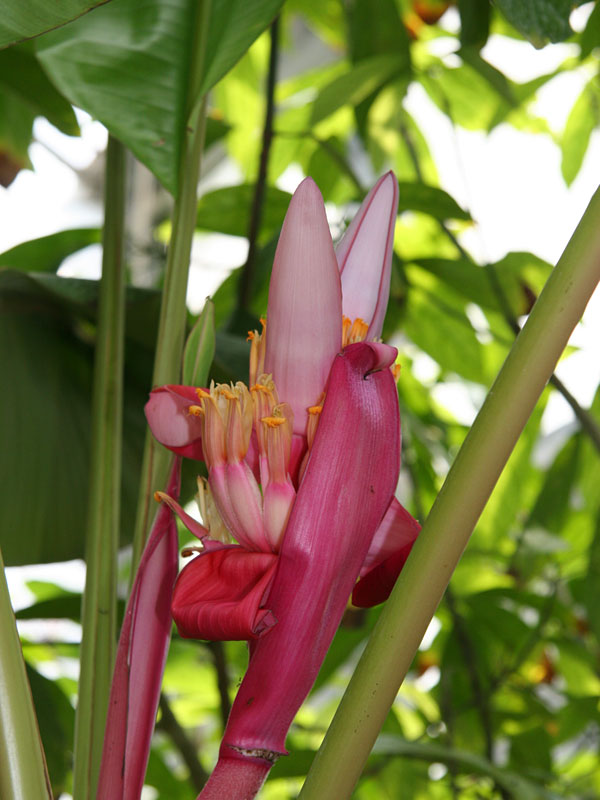Fast Growing Royal Purple Banana Tree Mus Orp