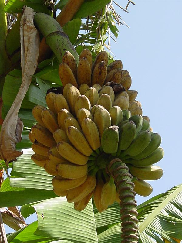 Saba 25 Foot Giant Banana Tree Mus Sab