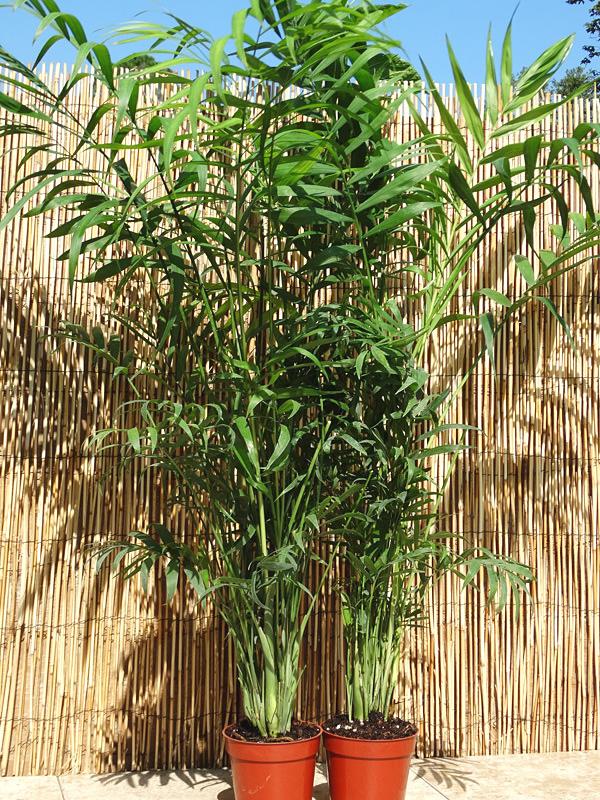 Tahitian Parlor Palm Chamaedorea Elegans #PA C ELEG