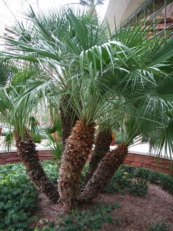 fan palm. european fan palm tree chamaerops humilis #pa-c-humi e