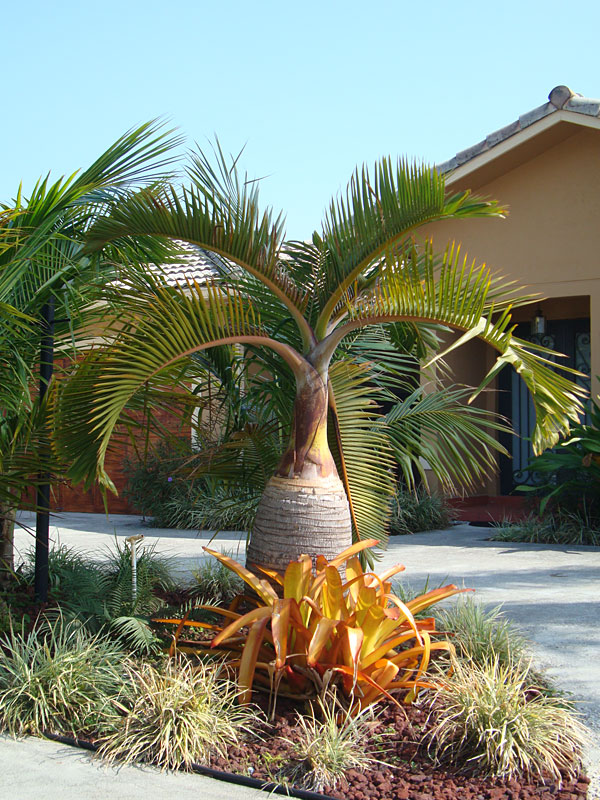 Bottle Palm Tree Hyophorbe Lagenicauli #PA H LAGE