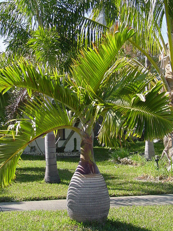 4 Bottle Palm Trees Hyophorbe Tropical Patio Pkg. #PA H LAGE