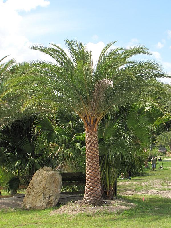 Indian Date Palm Tree Phoenix Sylvestris Pa P Sylv
