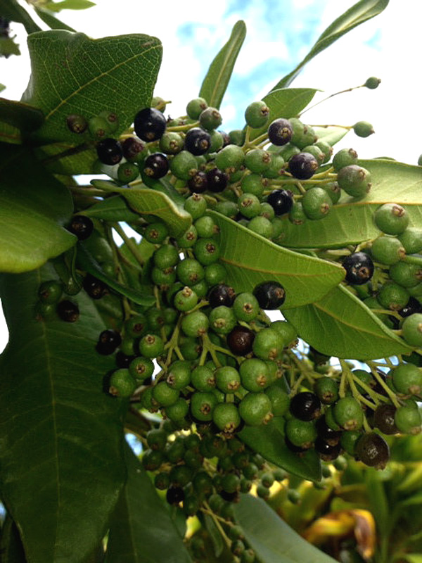 Real Allspice Tree Pimenta Dioica Kens Nursery