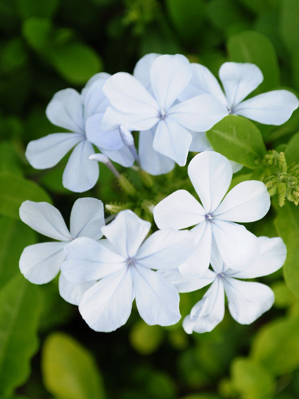 4 Plant Miami White Plumbago Patio Border Pkg Plu Miw