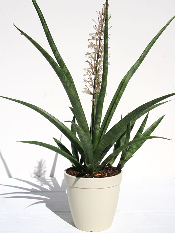 xl leafy stella sansevieria plant kens nursery. Black Bedroom Furniture Sets. Home Design Ideas