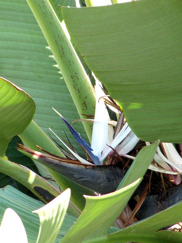 4 Plants Giant Tropical White Bird of Paradise – Kens Nursery