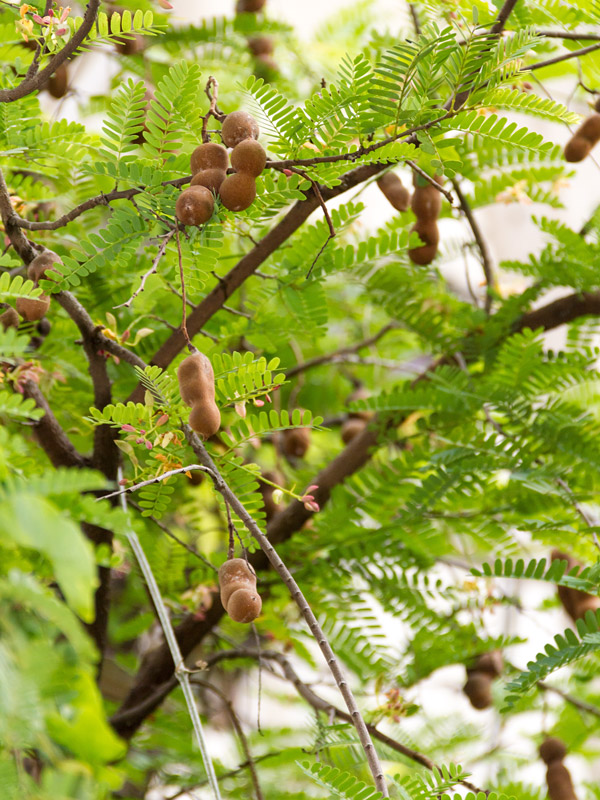 sweet tamarind tree tamarindus indica  kens nursery, Beautiful flower
