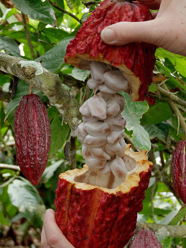 Real Chocolate Tree Theobroma Cacao Kens Nursery